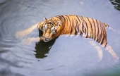 World Animal Protection Urges Tourists to Avoid Visiting Venues Offering Tiger Shows