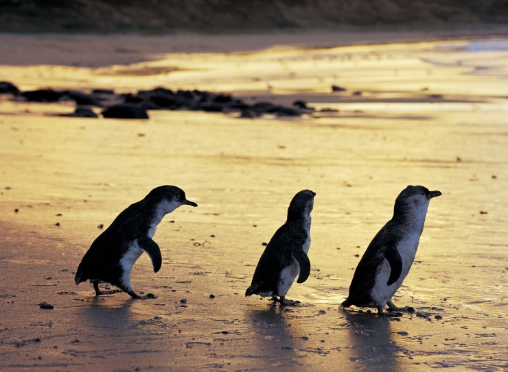 Nature Parks increases Penguin Parade capacity